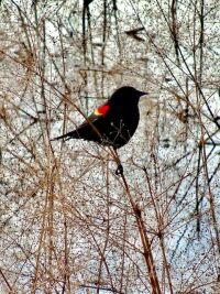 """""""Redwing"""" by Laurie Chambreau"""